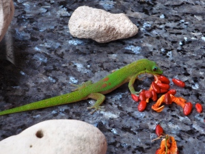 Gold Dust Day gecko eating bitter melon